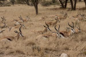 InfoMap_Namibia_Botswana_2016_KTP_springbok