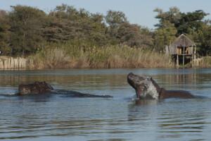 InfoMap_Namibia_Botswana_2016_Okavango_Hippos_Mahangu