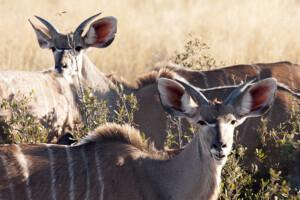 infomap_namibia_botswana_2016_chobe_kudu