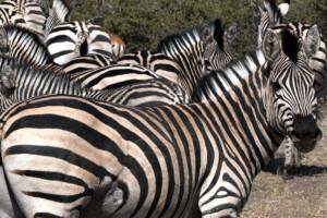 infomap_namibia_botswana_2016_chobe_zebra