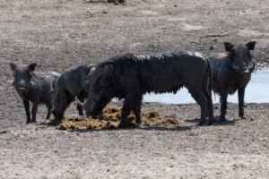 infomap_namibia_botswana_2016_chobe_warthog