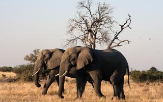 infomap_namibia_botswana_2016_moremi-elephants