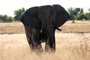 infomap_namibia_botswana_2016_moremi_elephant
