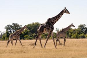 infomap_namibia_botswana_2016_moremi_giraffe